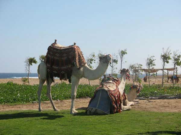 Караваны пустыни