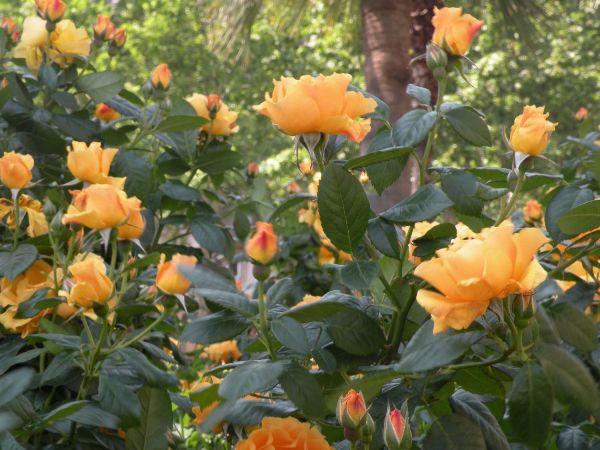 Испанские розы так же горячи, как и жители страны, поэтому в розарии установлена табличка